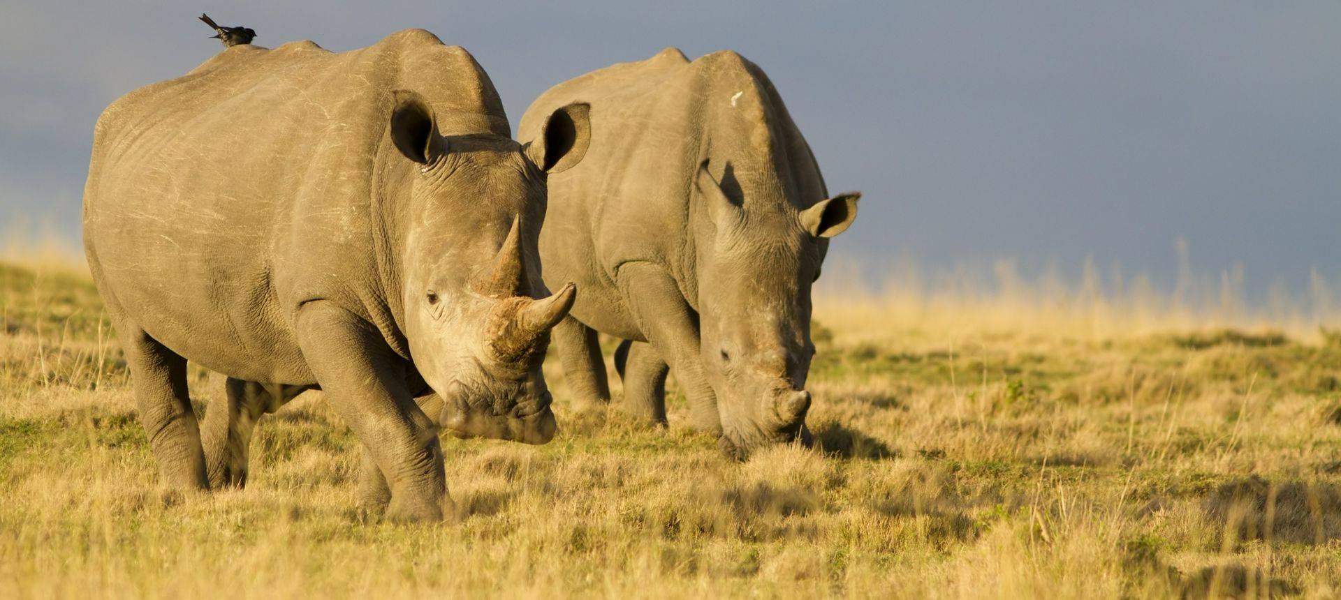 White Rhinoceros (Jason Prince)