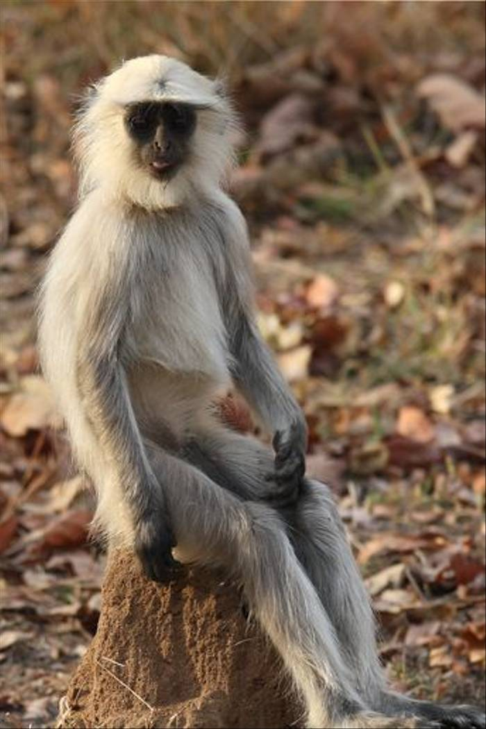 Common Langur (Ian Williamson)