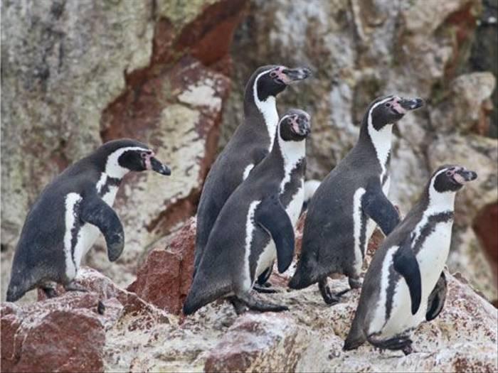 Humboldt Penguins (Ian Williamson)