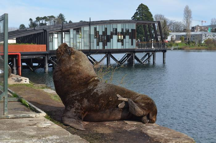 South American Sea Lion, Valdivia.JPG