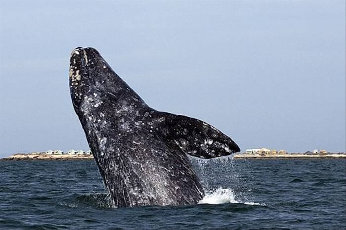 Grey Whale breach (Lee Morgan)