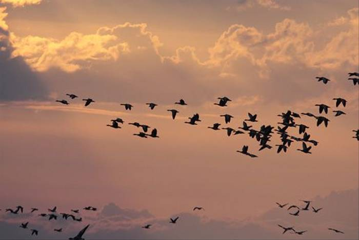 Geese in sunset (Daniel Green)