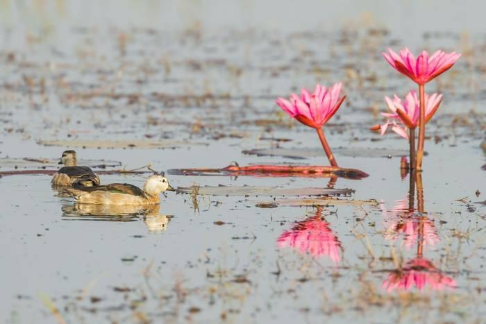 Cotton Pygmy Goose. India. Shutterstock..jpg