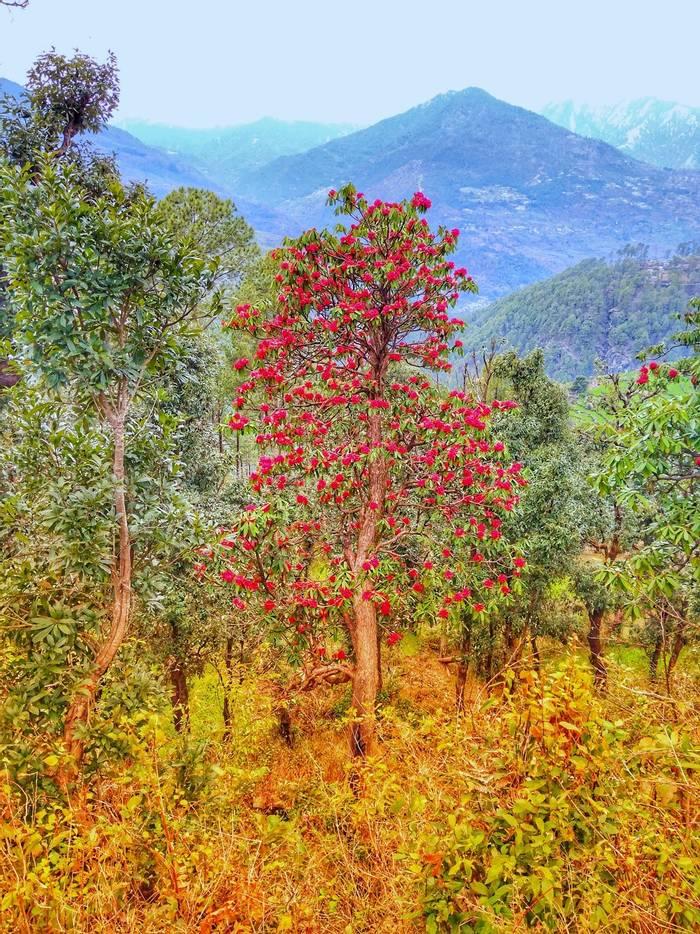 Rhododendron arboreum, Bhutan shutterstock_1382825825.jpg