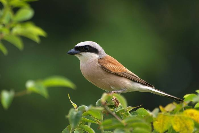 Red Backed Shrike (2)