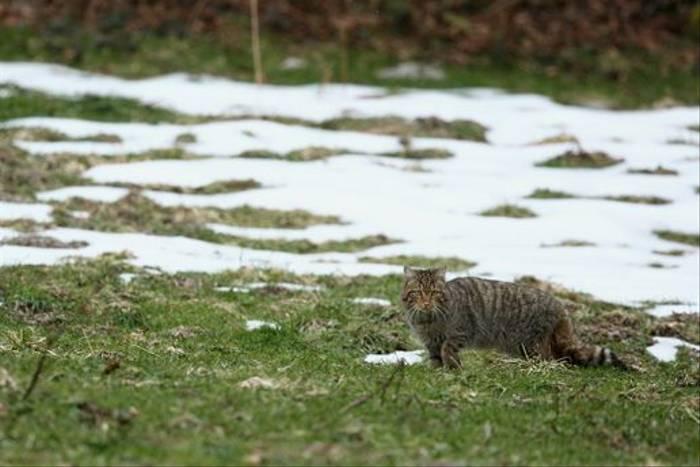 Wildcat, Navarra (Julian Gayarre)