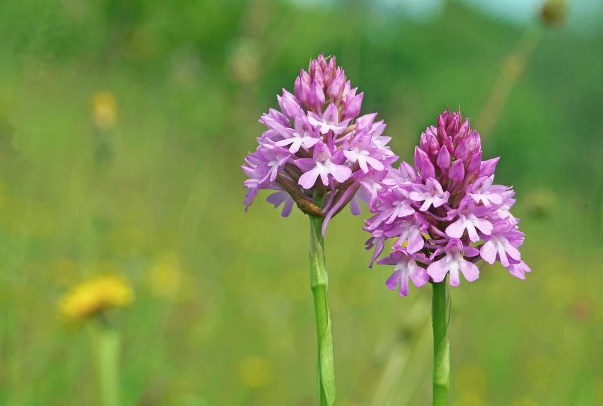 Pyramidal Orchid, Cotswalds UK Shutterstock 243226363