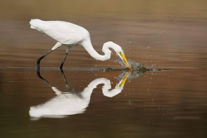 Great Egret, UK shutterstock_1078772105.jpg