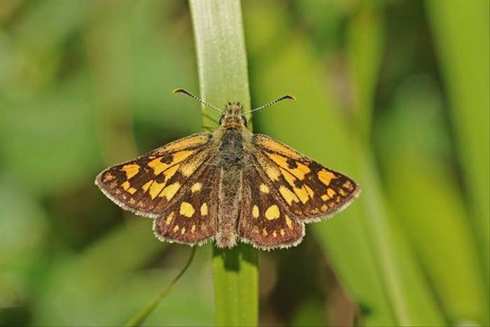Chequered Skipper (David Morris)