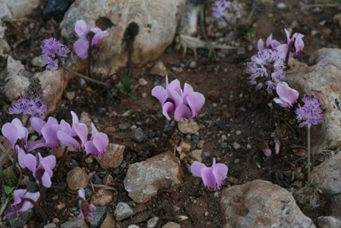 Cyclamen hederifolium (David Tattersfield)