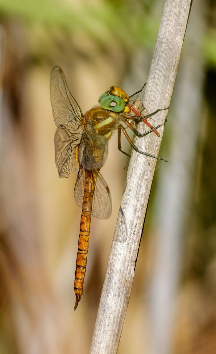 Aeshna isoceles Green-eyed or Norfolk Hawker (Ann Miles)