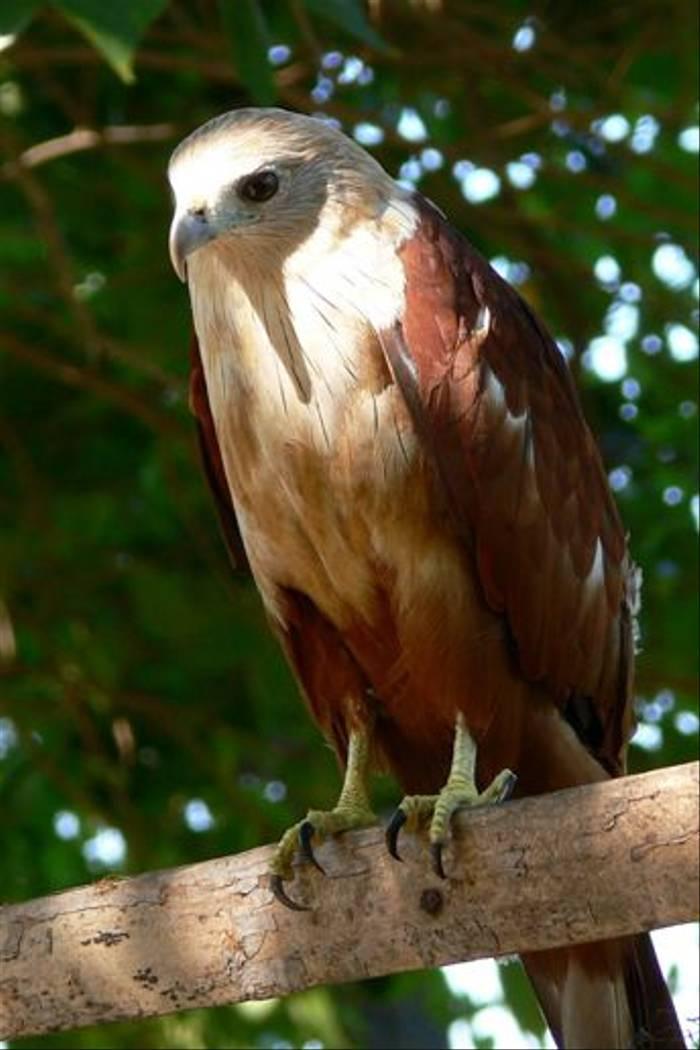Brahminy Kite (Tim Melling)