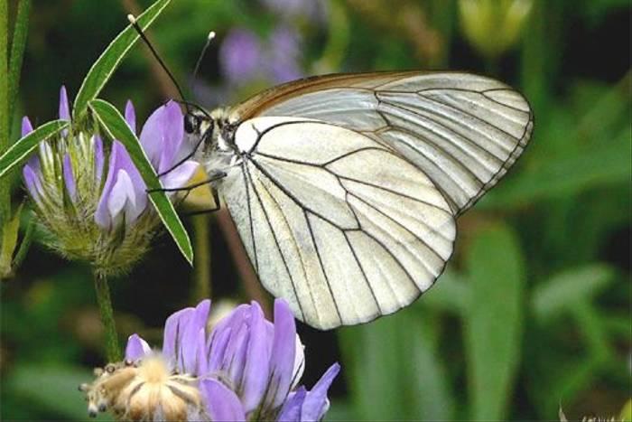 Black-veined White (William Lintott)