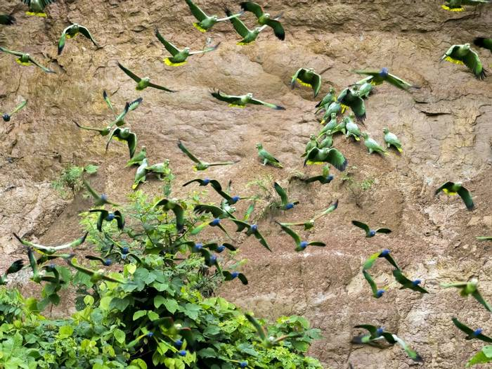 Mealy Amazons, Yellow-crowned Amazons and Blue Headed Parrots, Peru  shutterstock_795789760.jpg