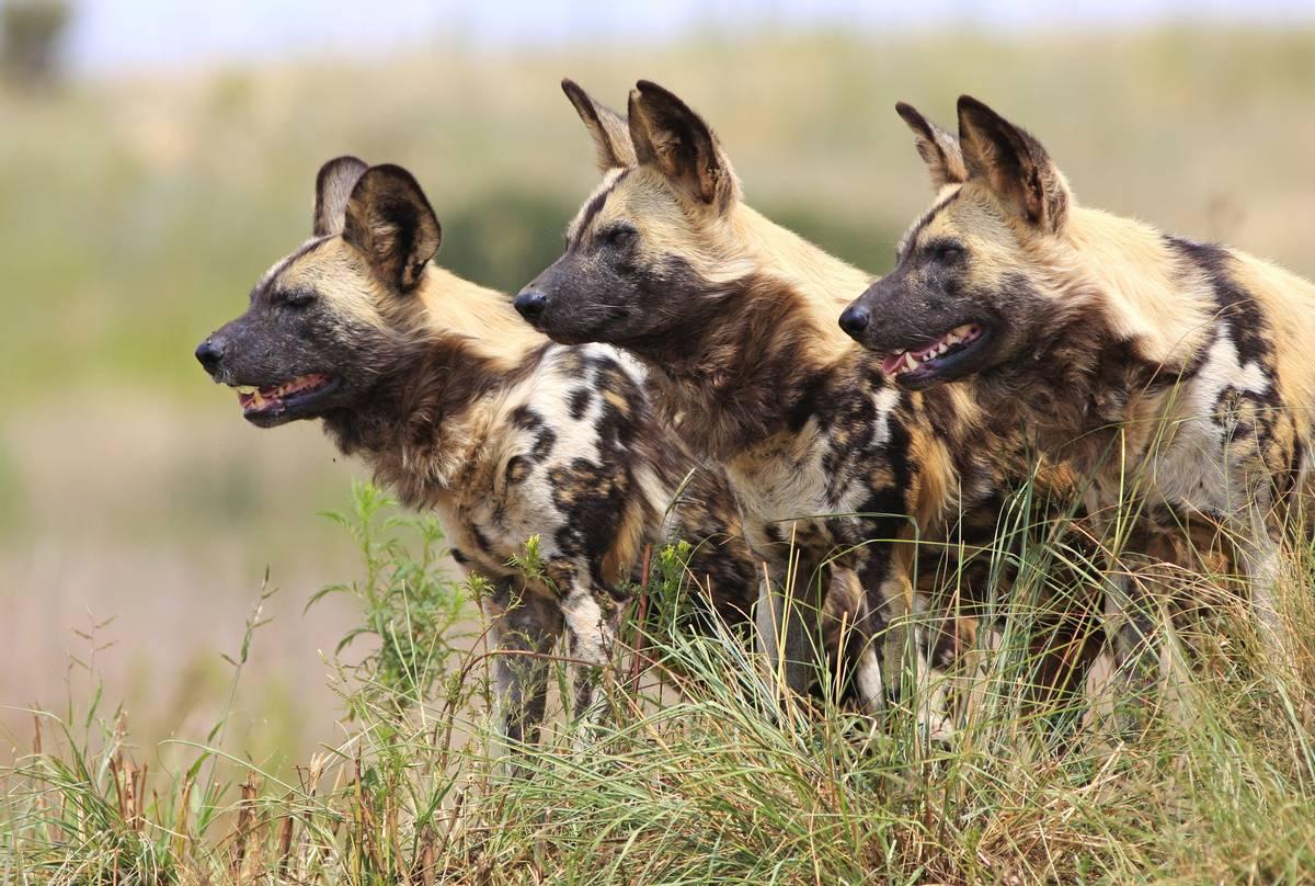 Wild Dogs shutterstock_89757538.jpg