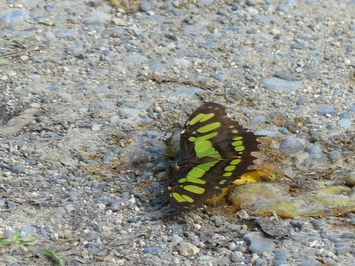 Malachite Butterfly (Tom Mabbett 2016 tour)
