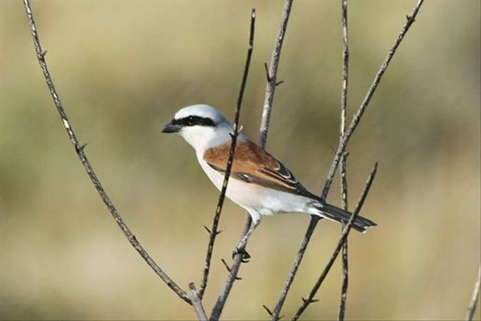 Red-backed Shrike (Peter Spillett)