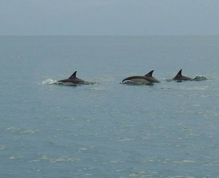 Common Dolphins (Mike Langman).jpg