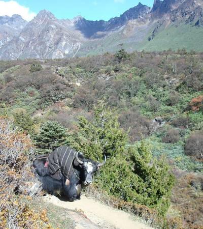Yak on trail near Woche camp