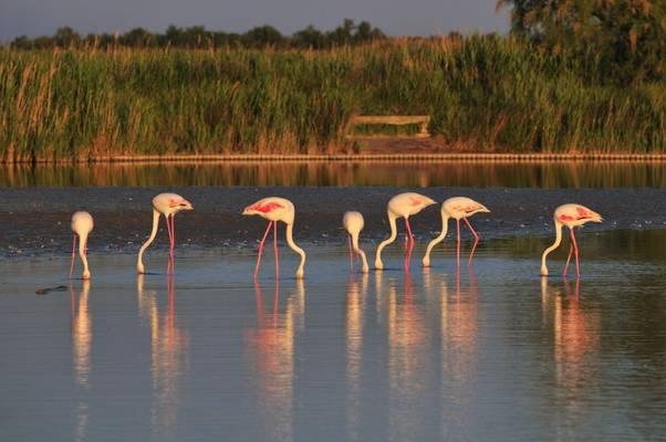 Sicily. Greater Flamingos. Shutterstock.