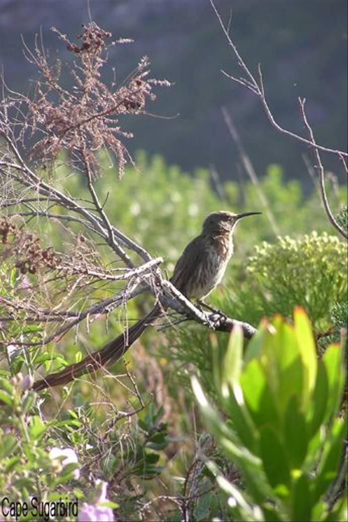 Cape Sugarbird (Sarah Barnes)