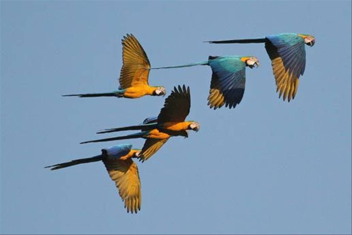 Blue-and-Yellow Macaws (Roger Wasley)