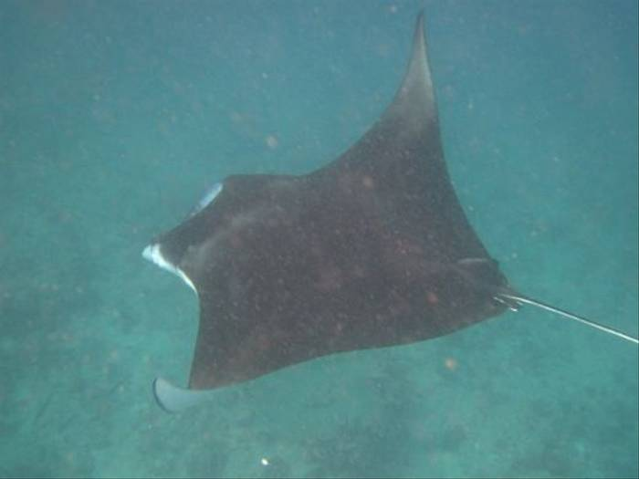 Manta Ray (Brian W Jones)