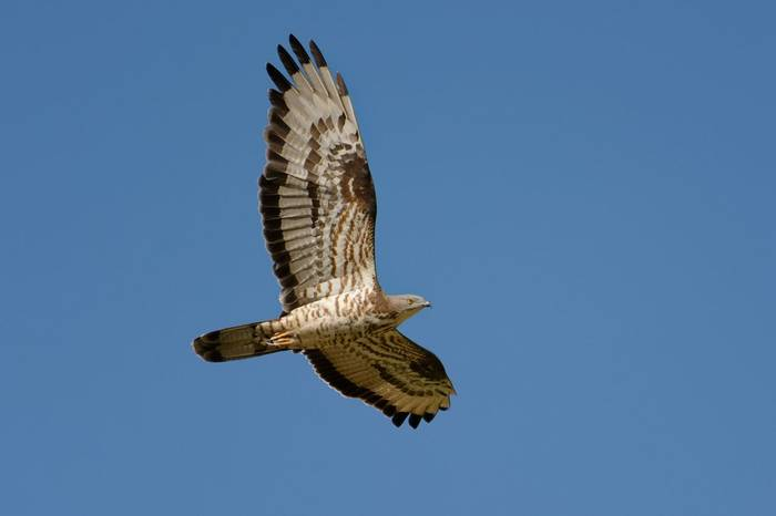 Honey Buzzard shutterstock_1068577778.jpg