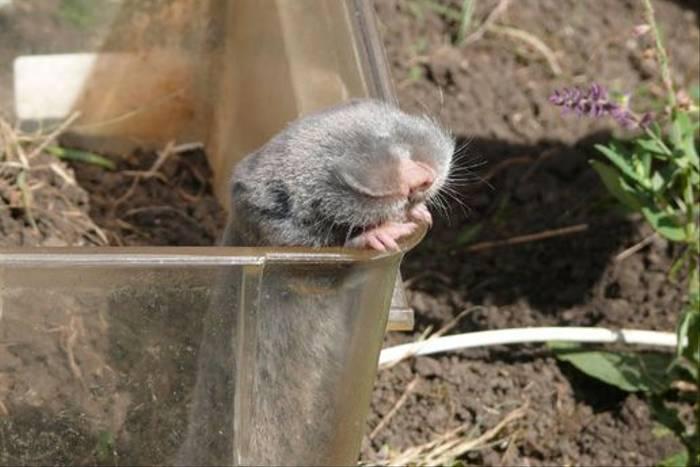 Lesser Mole Rat caught by researchers (Roy Taylor)