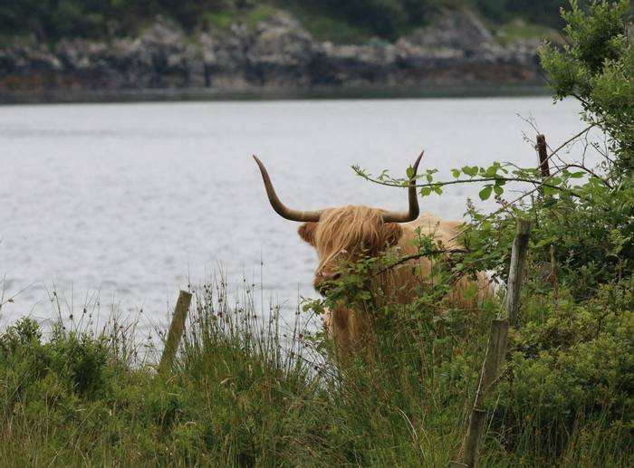 Highland Cattle (Martin Hancock)