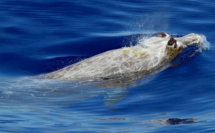 Blainville's Beaked Whale_1.jpg