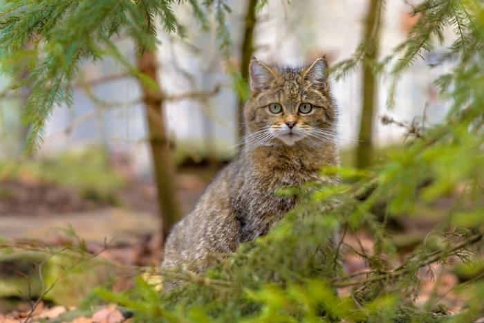 Wildcat, Spain shutterstock_618070628.jpg