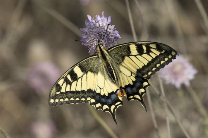 Swallowtail, Colin Brown