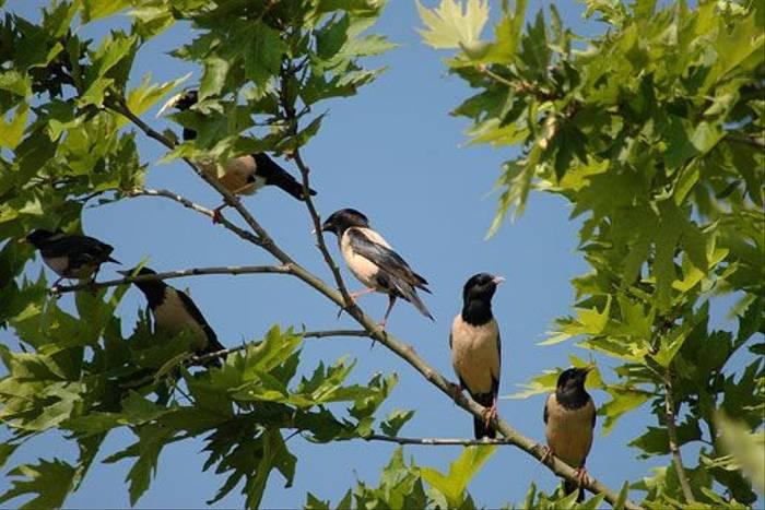 Rose-coloured Starlings (David Morris)