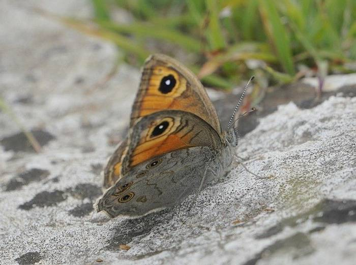 Large Wall Brown (Mark Elliott)