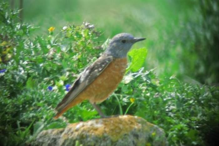 Rufous-tailed Rock Thrush (Andy Harding)