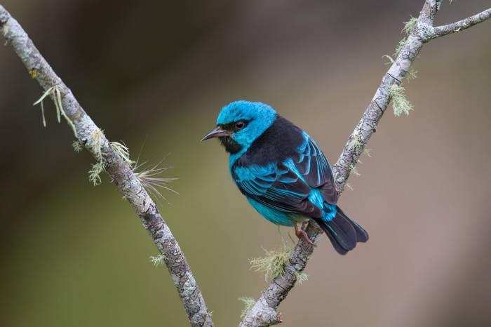 Blue Dacnis, Atlantic Rainforest Brazil