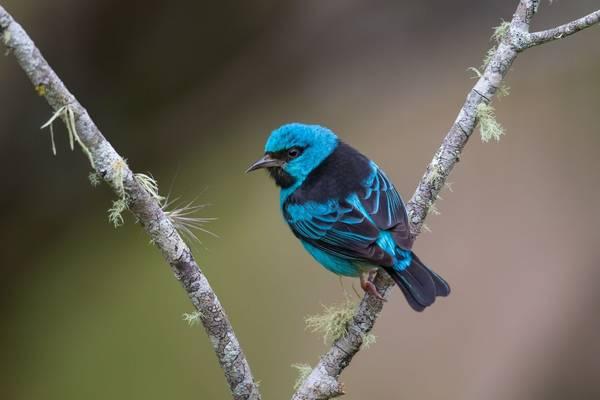 Blue Dacnis, Atlantic Rainforest Brazil