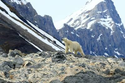 Polar Bear, Norway