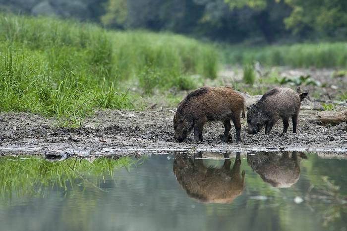 wild boar (peter molnar)