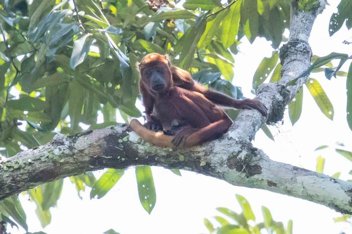 Red Howler Monkey (Chris Hutchinson)