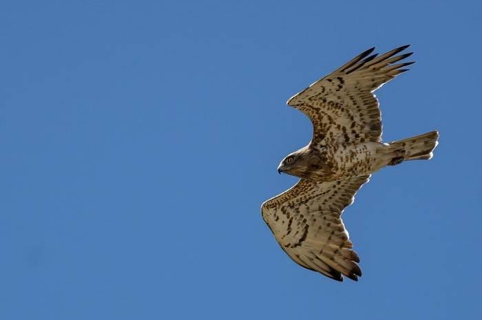 Short Toed Eagle (Simon Tonkin)