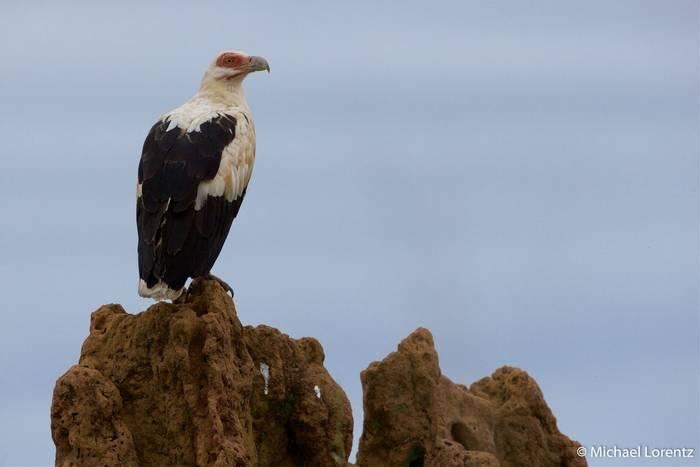 Palm-nut Vulture (Michael Lorentz).jpg