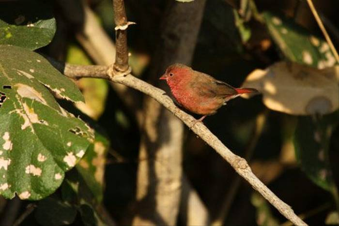 Red Billed Firefinch (Bret Charman)
