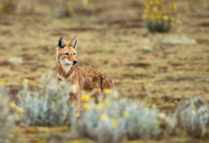 Ethiopian Wolf shutterstock_1288648675.jpg