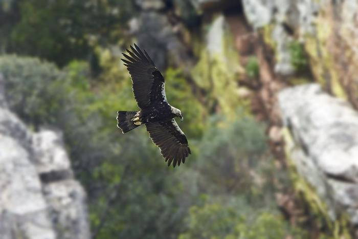 Spanish Imperial Eagle, Spain shutterstock_513359944.jpg