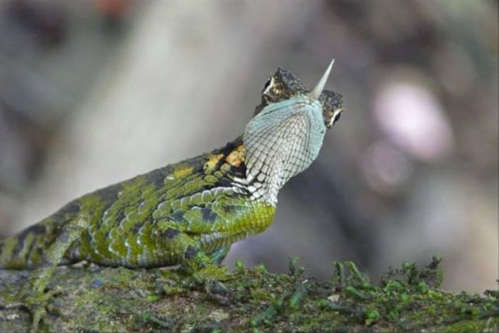 Rhino-horned Lizard, Horton Plains (Rajan Jolly)