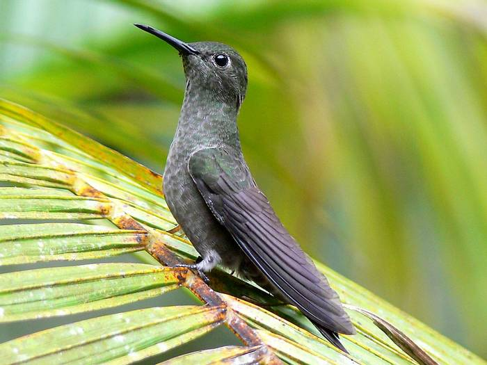 Sombre Hummingbird (John Caddick)