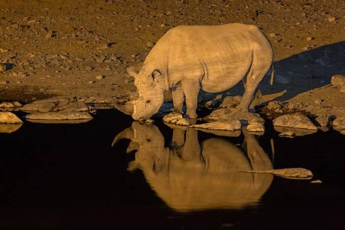 Black Rhinoceros (Diceros Bicornis), Halali Waterhole, Etosha © R Harvey