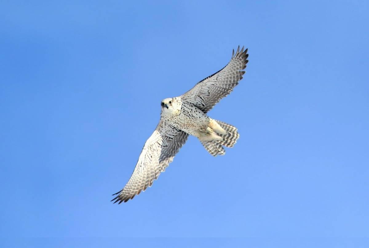 Gyr Falcon. Shutterstock 254368267